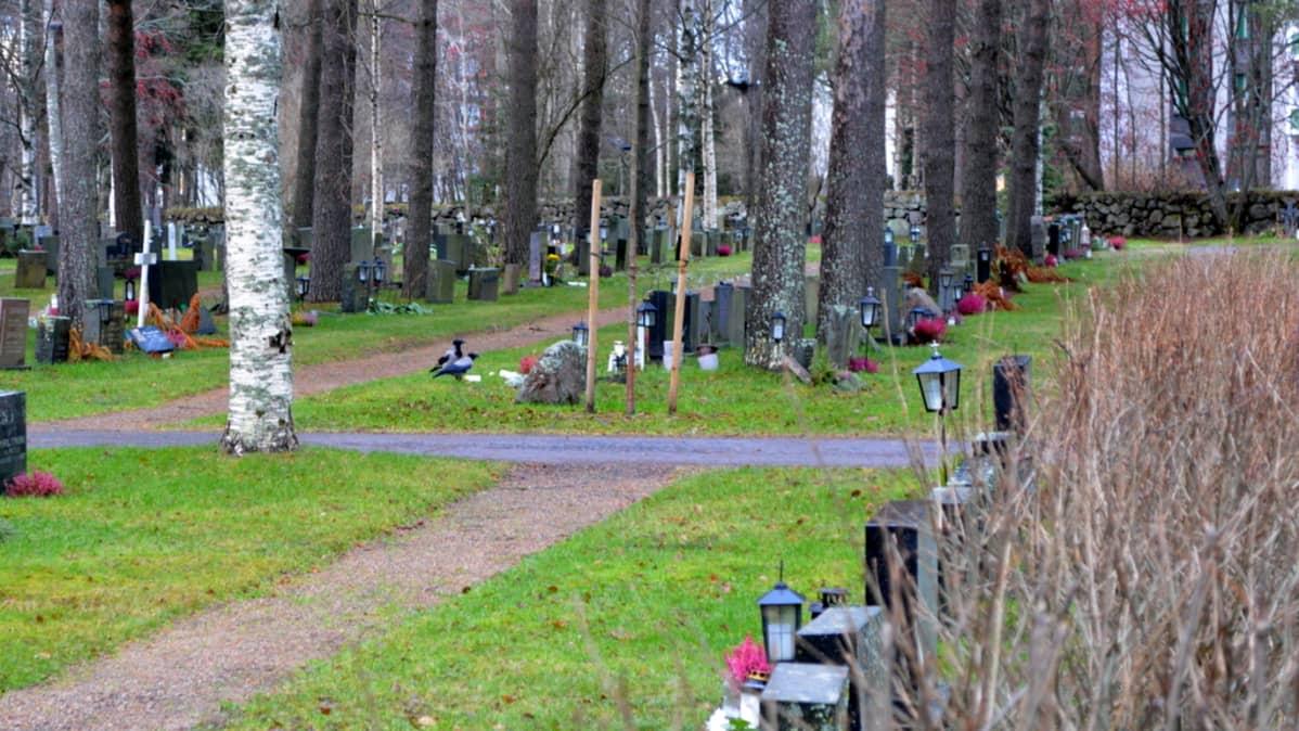 Varikset nokkivat hautakynttilöitä Intiön hautausmaalla Oulussa.