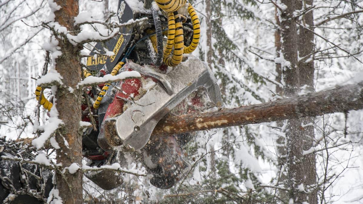 Metsäkoneessa oleva saha katkaisee puuta määrämittaan.