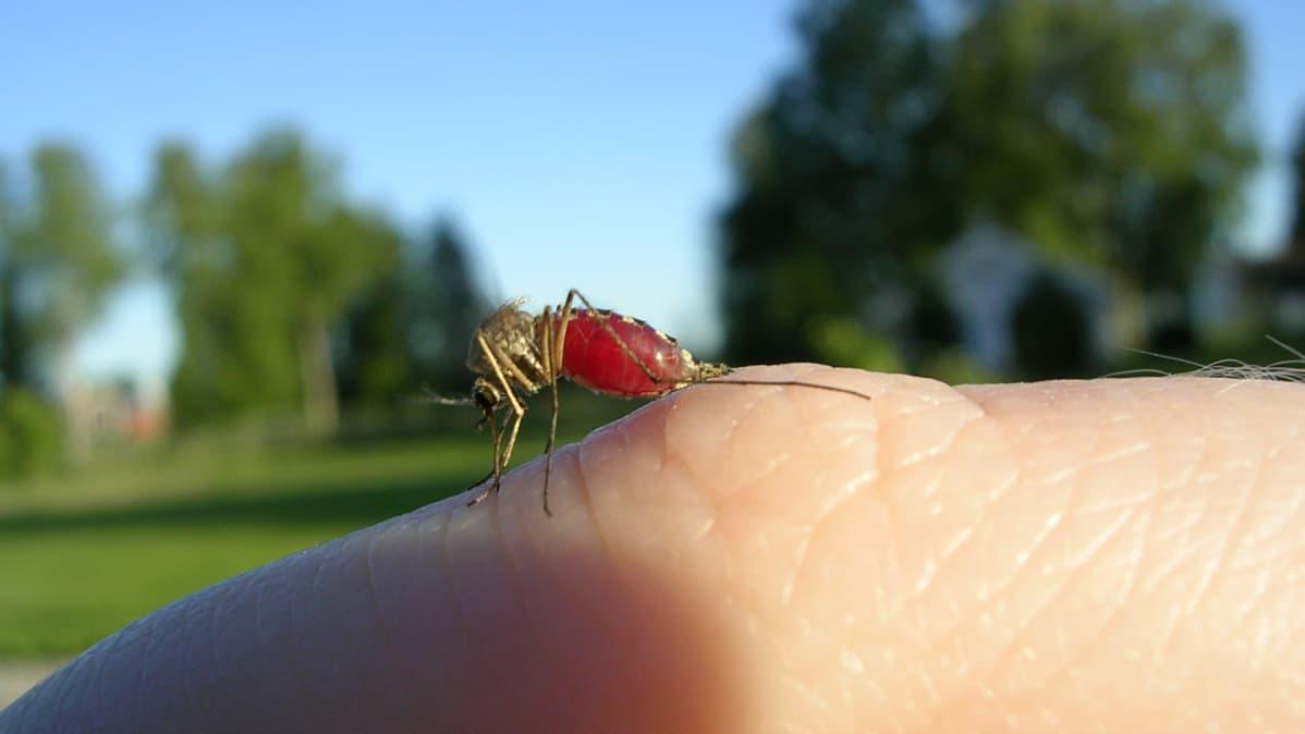 Hyttynen sormella