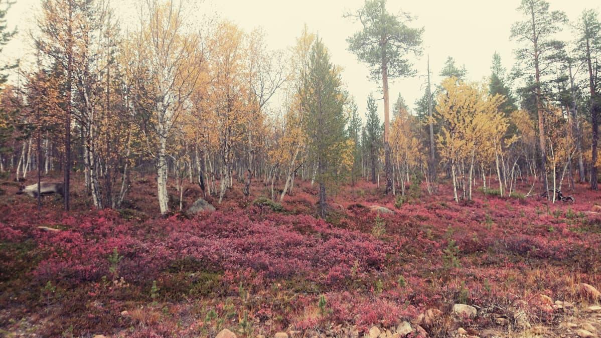Ruskaa UKK:n kansallispuiston liepeillä.