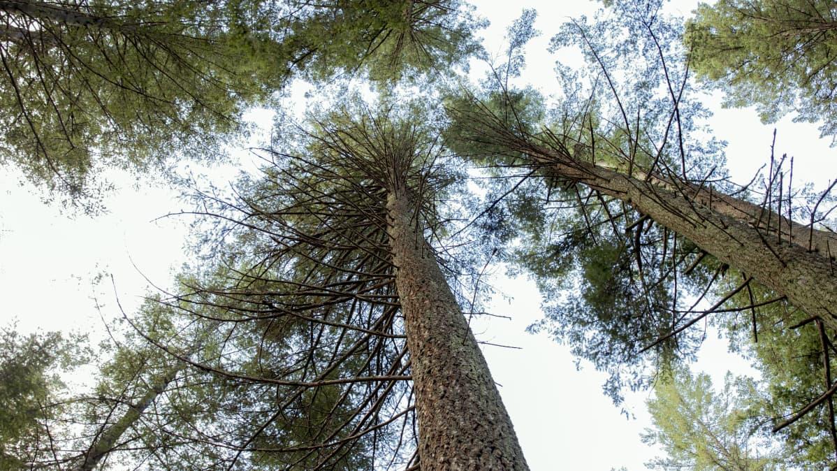 Douglaskuusia Mustilan Arboretumissa.