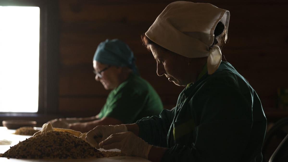 Naiset lajittelevat sembramännyn siemeniä.