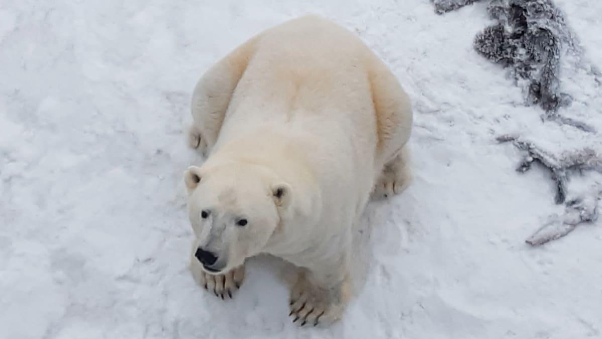 Ranuan Eläinpuiston jääkarhu Venus