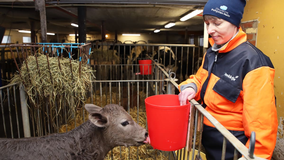 Simolainen maatalousyrittäjä Virpi Parpala juottaa vasikkaa
