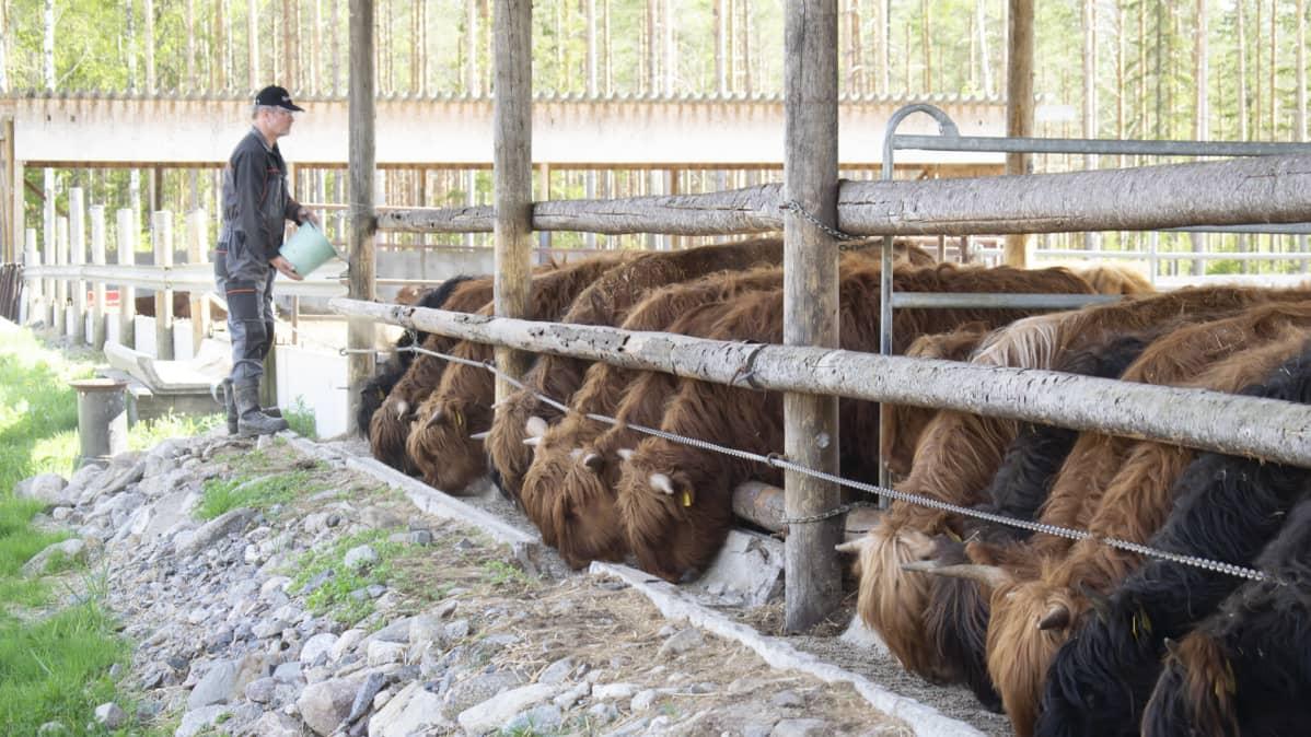 Mies kaataa ämpäristä rehua karjalle