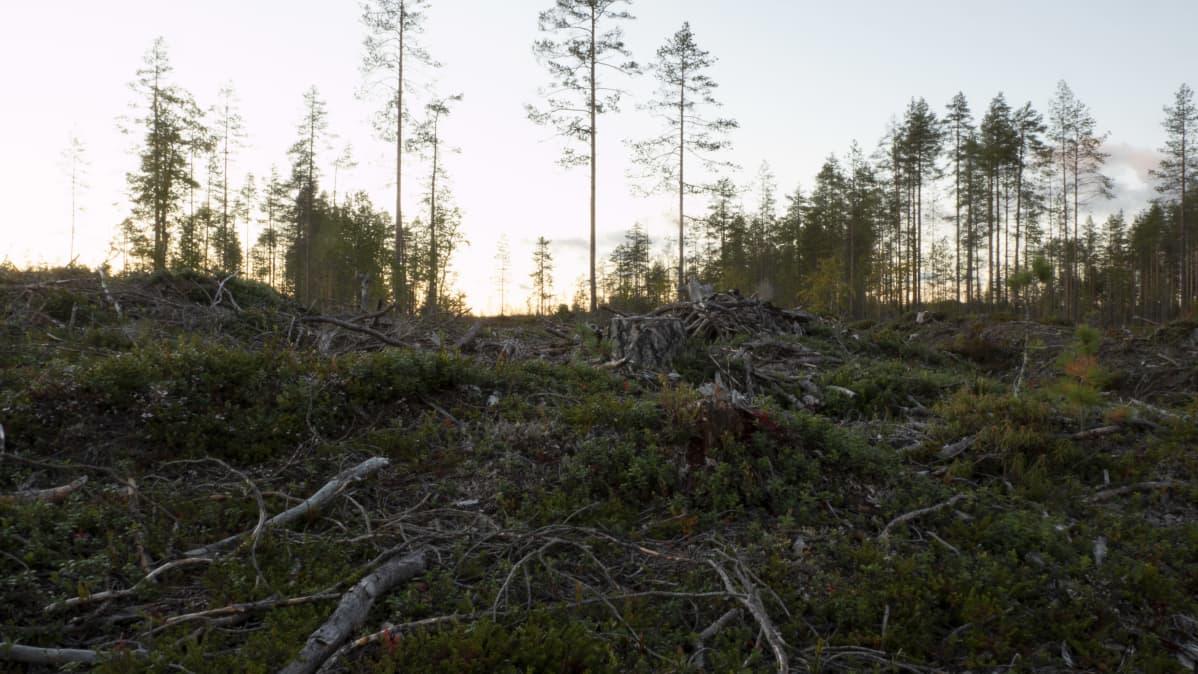 Metsähakkuita Hyrynsalmella syyskuussa 2020.