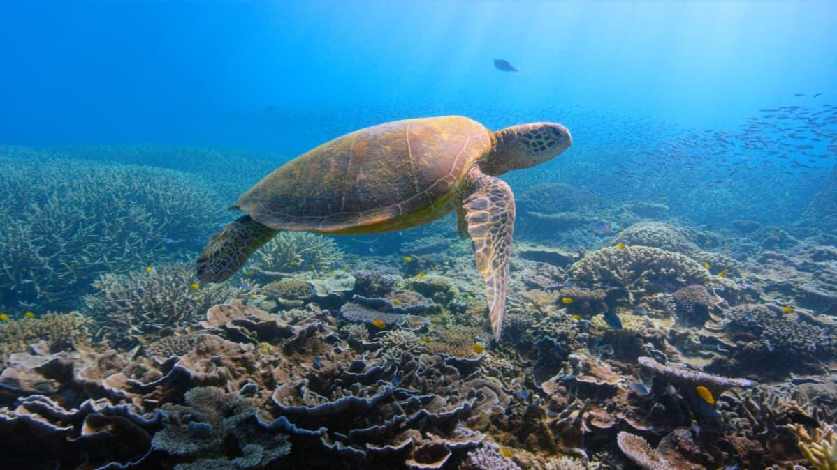 Kilpikonna ui korallien yllä vedessä.