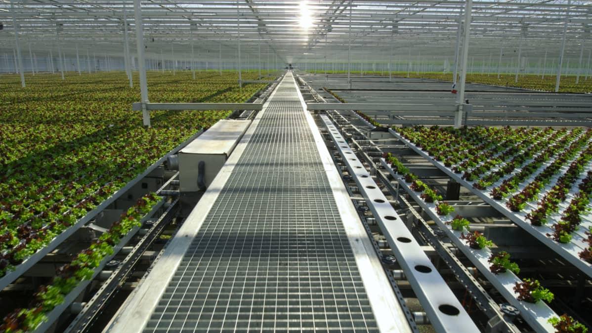 Ruuantuotantoa valtavassa kasvihuoneessa Hollannissa vuonna 2020.