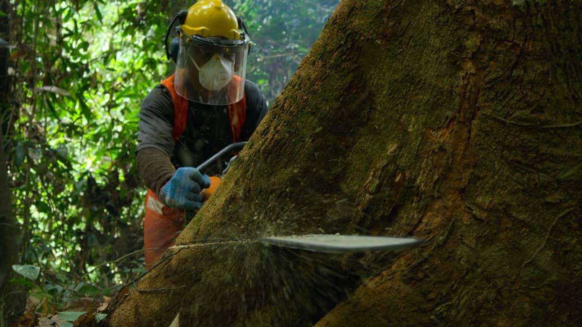Metsuri sahaa todella paksurunkoista puuta moottorisahalla.