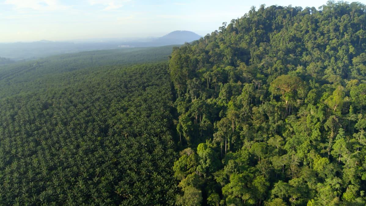 Laaja palmuöljyplantaasi koskemattoman sademetsän vieressä Borneon saarella.