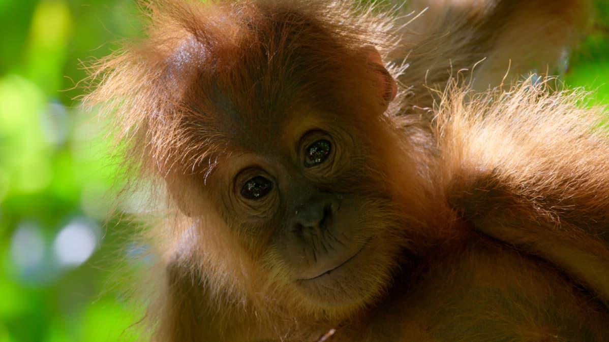 Oranginpoikanen Borneon saarella.