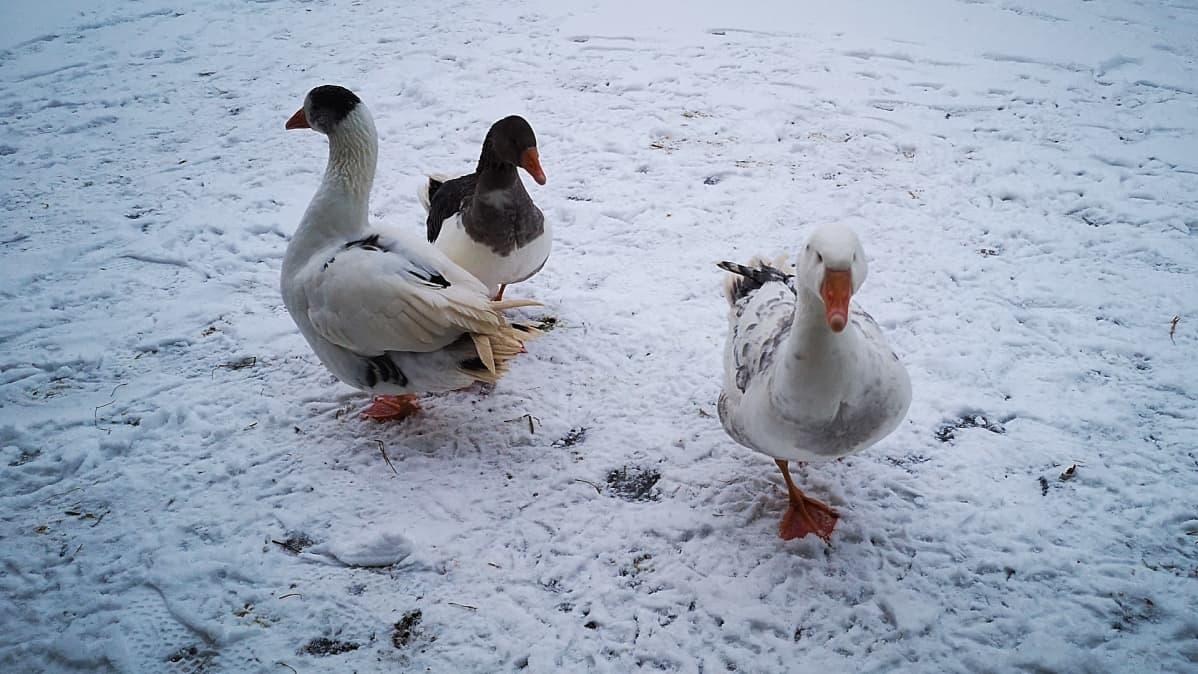 Kolme hanhea kävelee lumella.