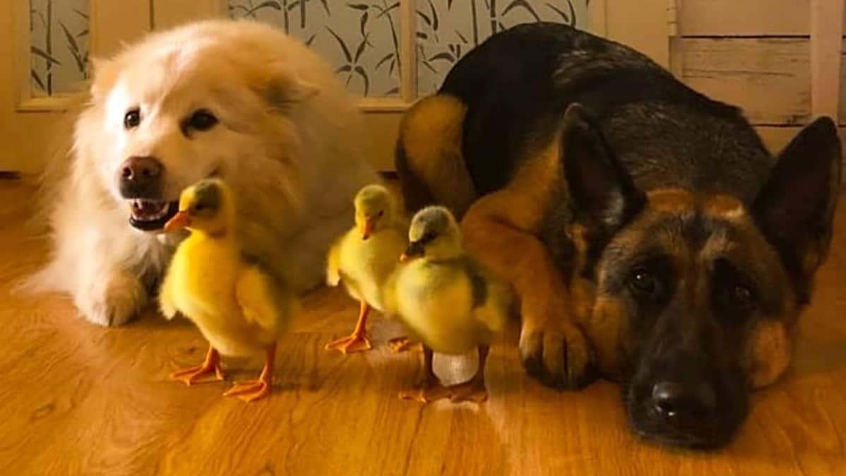 Tiput ja koirat ovat rivissä lattialla.