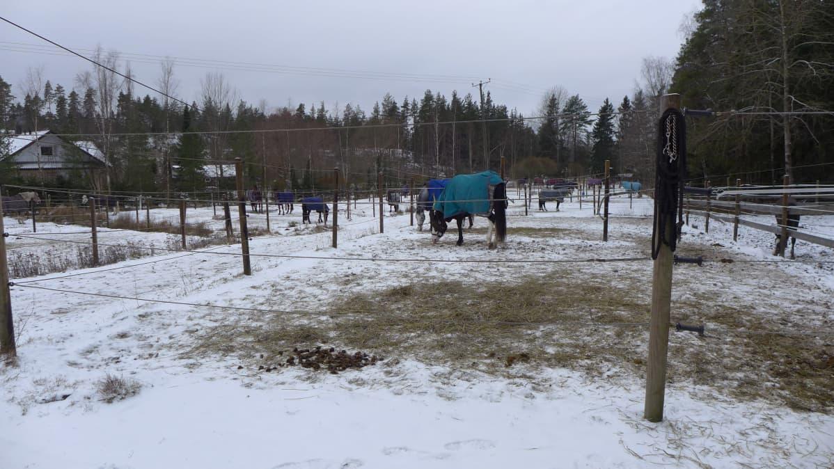 Hevonen Kotimäen tallin pihamaalla