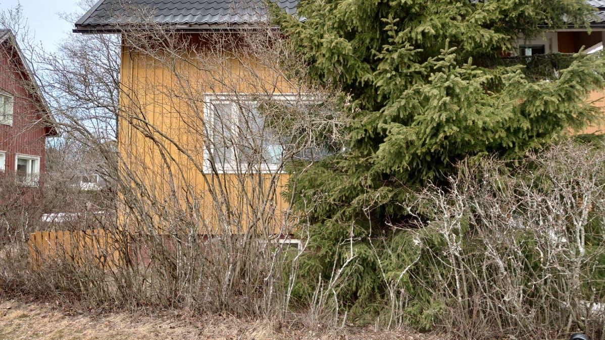 Kuvassa talo, jonka edustalla on villiintynyt pensasaita.