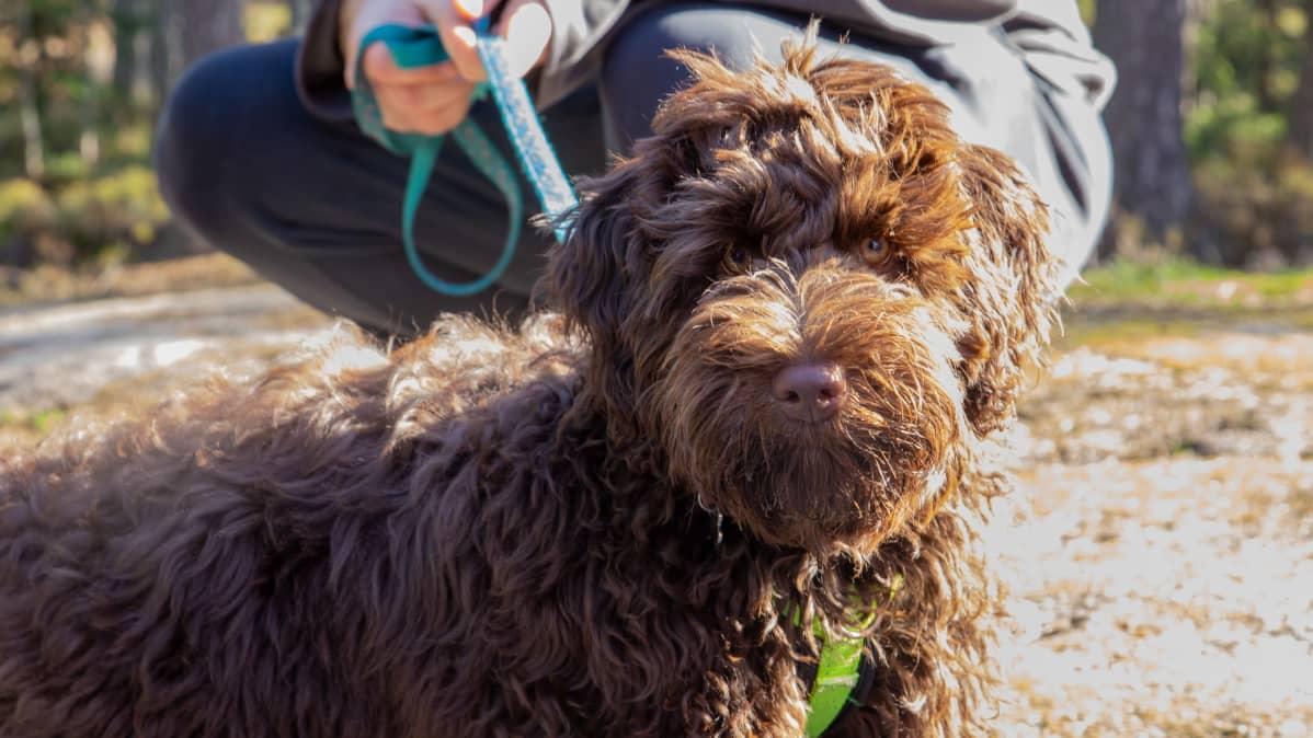 Australian labradoodlejen turkissa, värityksessä ja koossa näkyy sen risteytyksissä käytettyjen koirien ominaisuudet. Siinä on labradorinnoutajaa, villakoiraa ja cockerspanielia. Kuvassa ruskeaturkkinen Rico.