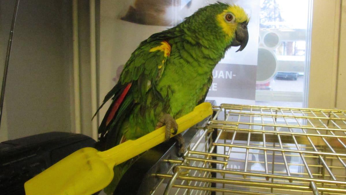 Vihreänkeltainen papukaija istuu häkkinsä päällä. Sillä on kynsissään keltainen muovilapio.