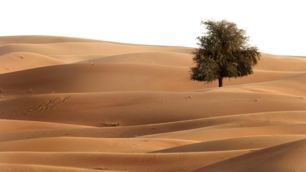 Yksinäinen puu kuvattuna hiekkadyyneillä.