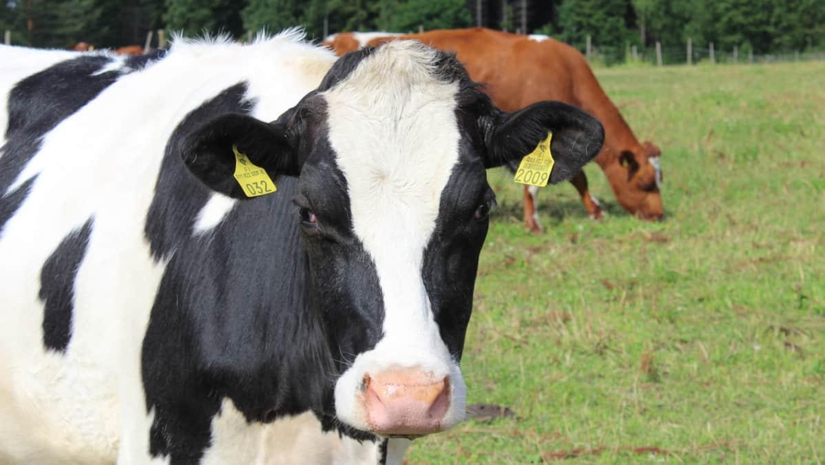 Lehmä laitumella