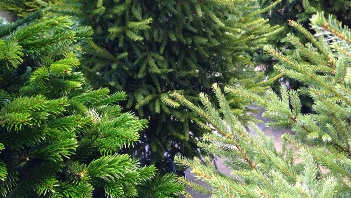 Kuusilajit erottaa neulasista: vasemmalla pihtakuusi, keskellä metsäkuusi ja oikealla hieman hopeaan vivahtava mustakuusi.