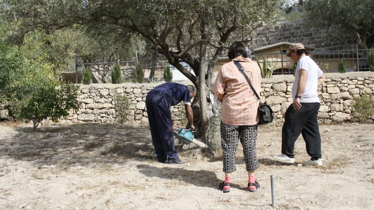 Kaksi mies ja nainen katkaisevat palaa oliivipuusta