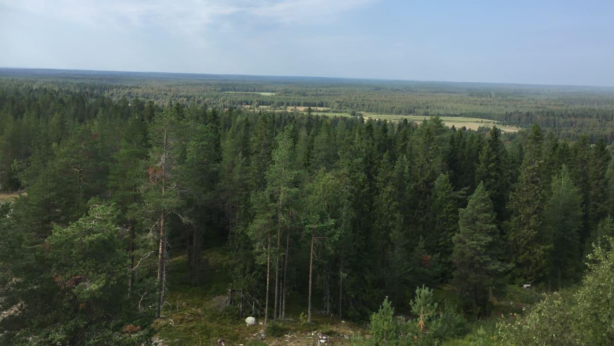 Maisema Keminmaasta, metsä, puut