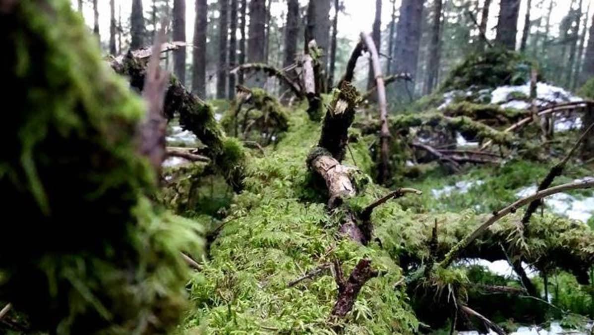 Sammaloitunut puu