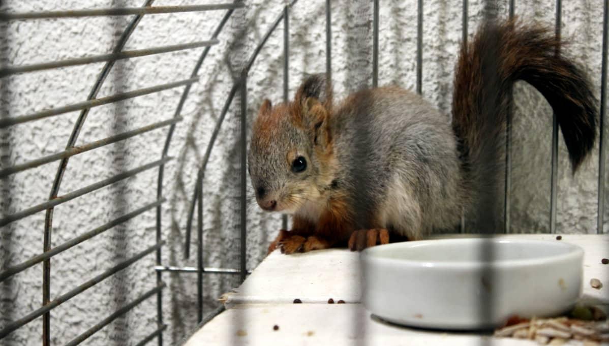 Oskari-orava häkissään.
