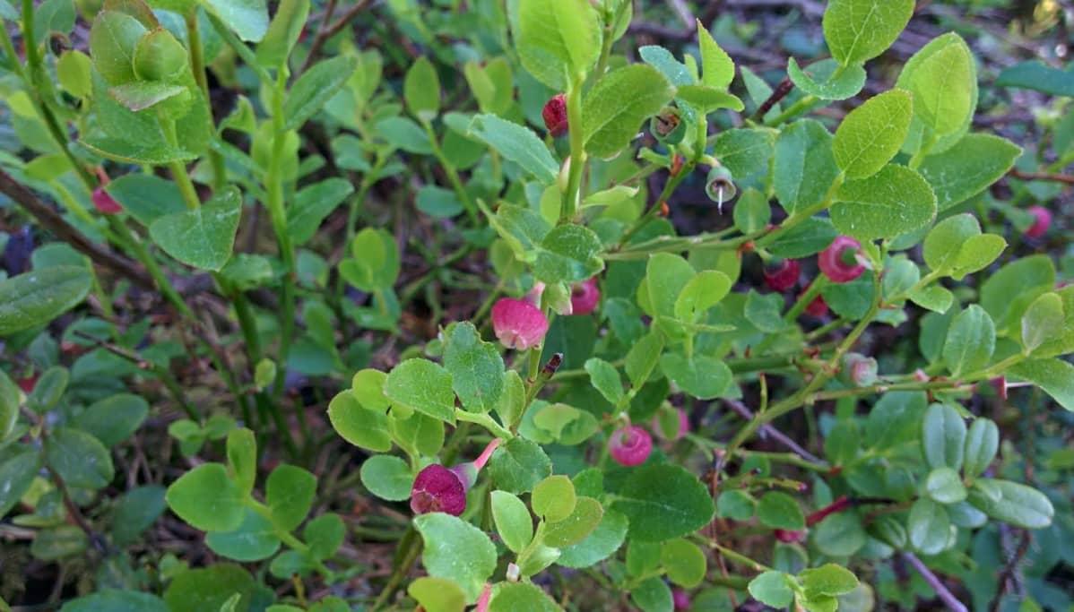 Mustikan kukintoja on enemmän kuin raakileita näyttäisi olevan tulossa.