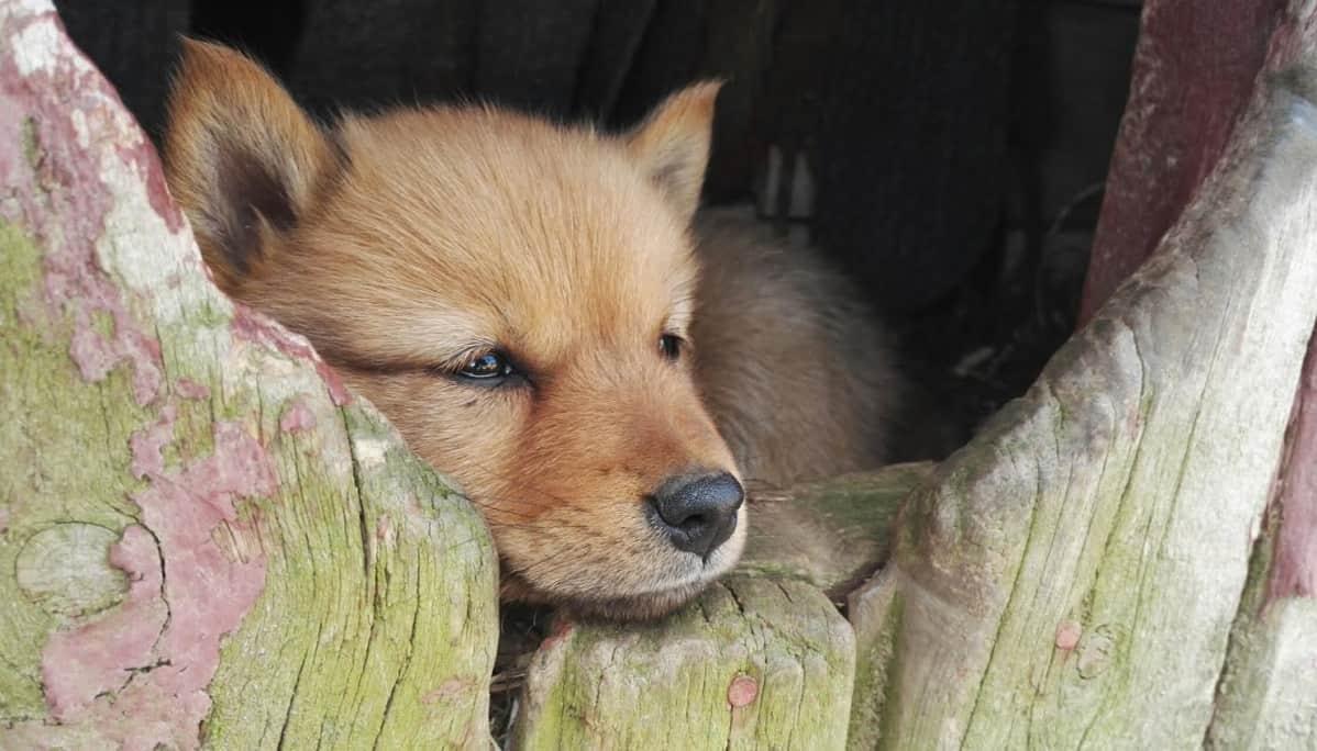 Koiranpentua nukuttaa