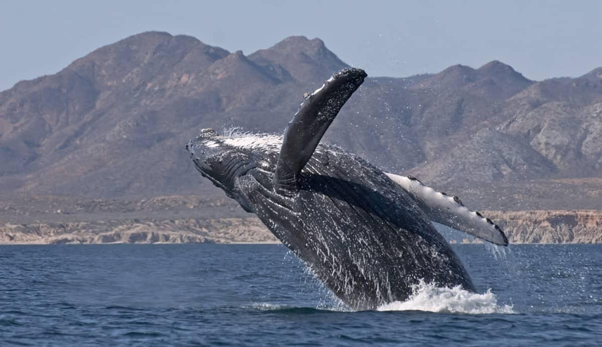 Ryhävalas hyppää vedestä, taustalla vuoristoinen ranta.