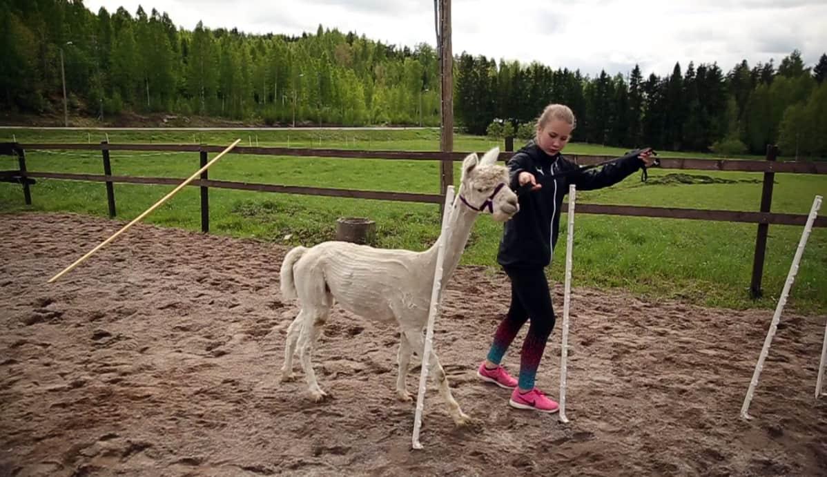 Nora Wikström ohjaa Olli-alpakkaa läpi pujottelurastin.
