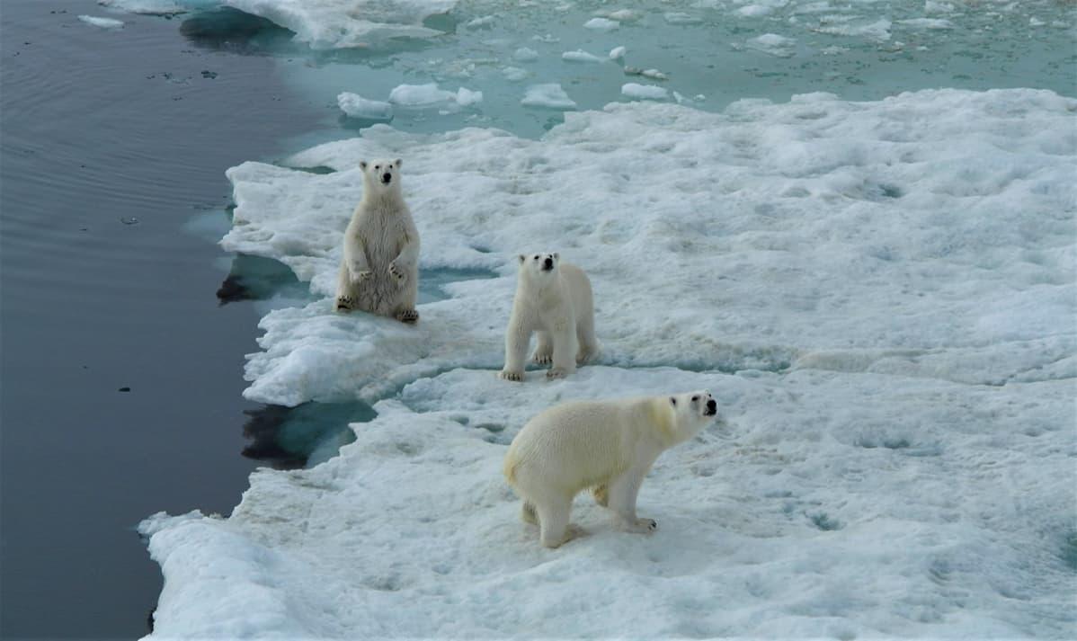 Kolme jääkarhua, yksi istuu, kaksi kävelee.