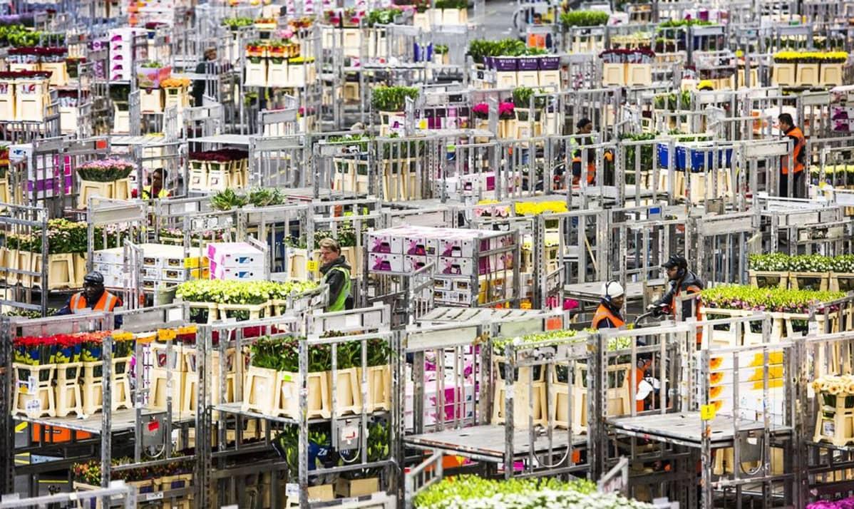 Leikkokukkia FloraHolland-kukkahuutokaupassa Aalmeerissa, Hollannissa, tammikuussa 2015.