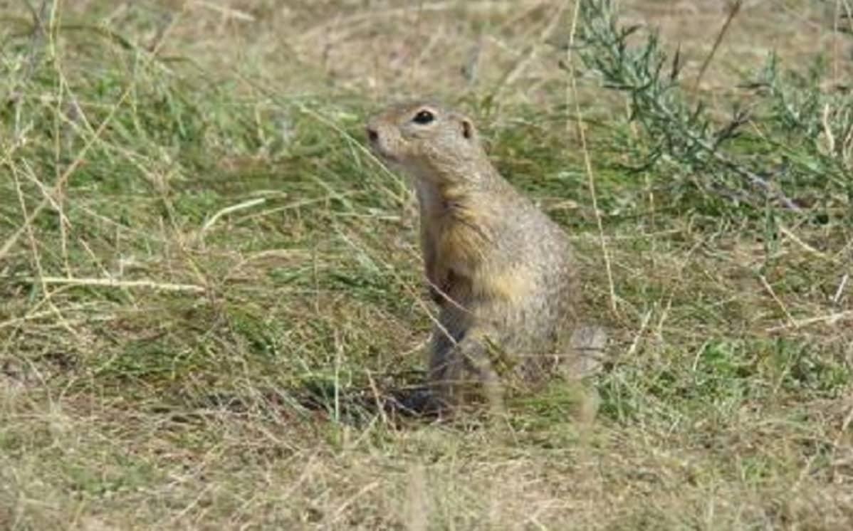 Oravan näköinen mutta pörröhännätön jyrsijä ruohikossa.