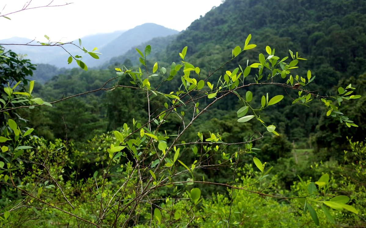 Kokaiinipensaita Sierra Nevadan viidakossa Kolumbiassa.