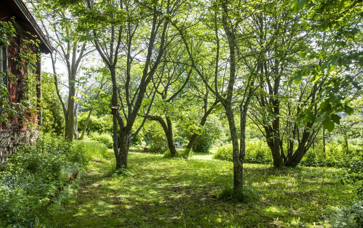 Kirsikkapuita Arboretum Mustilassa.