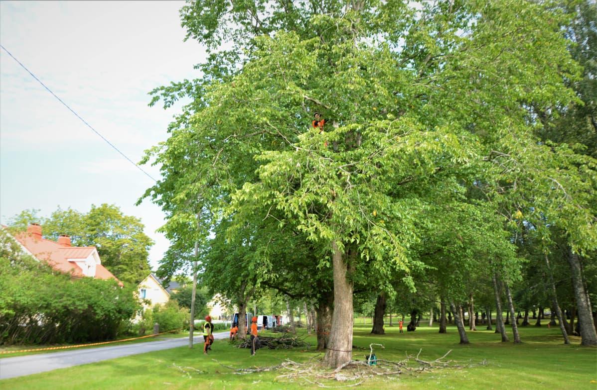 Sedun Ähtärin toimipisteen opiskelijat puussa