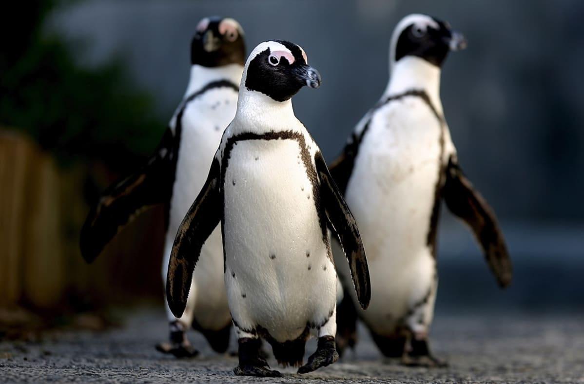 Kolme afrikanpingviiniä tallustelee kohti kameraa.