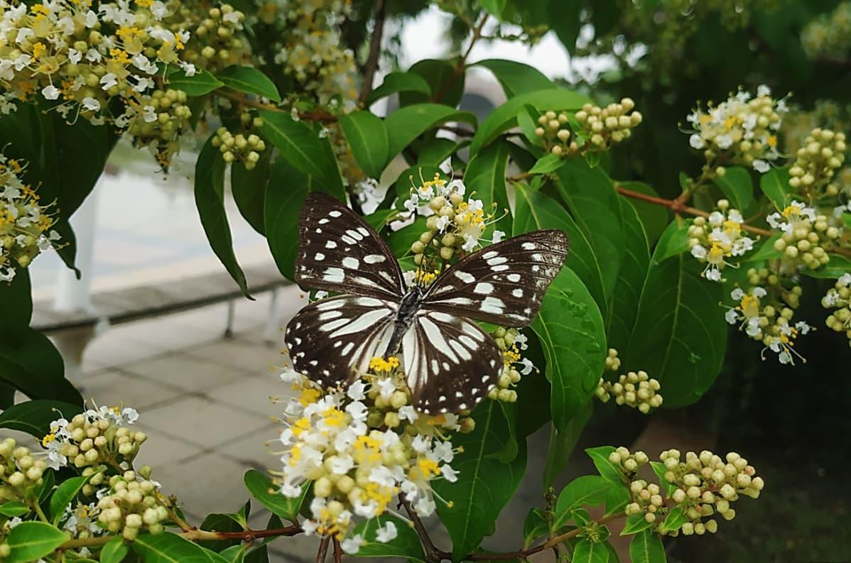 Kuvassa on Tirumala limniace -perhonen.