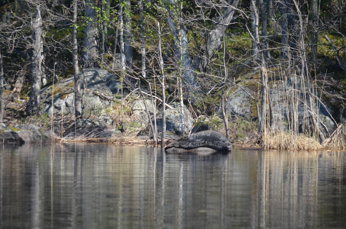 Saimaannorppa köllöttelee kivellä Rantasalmen Haukivedellä.