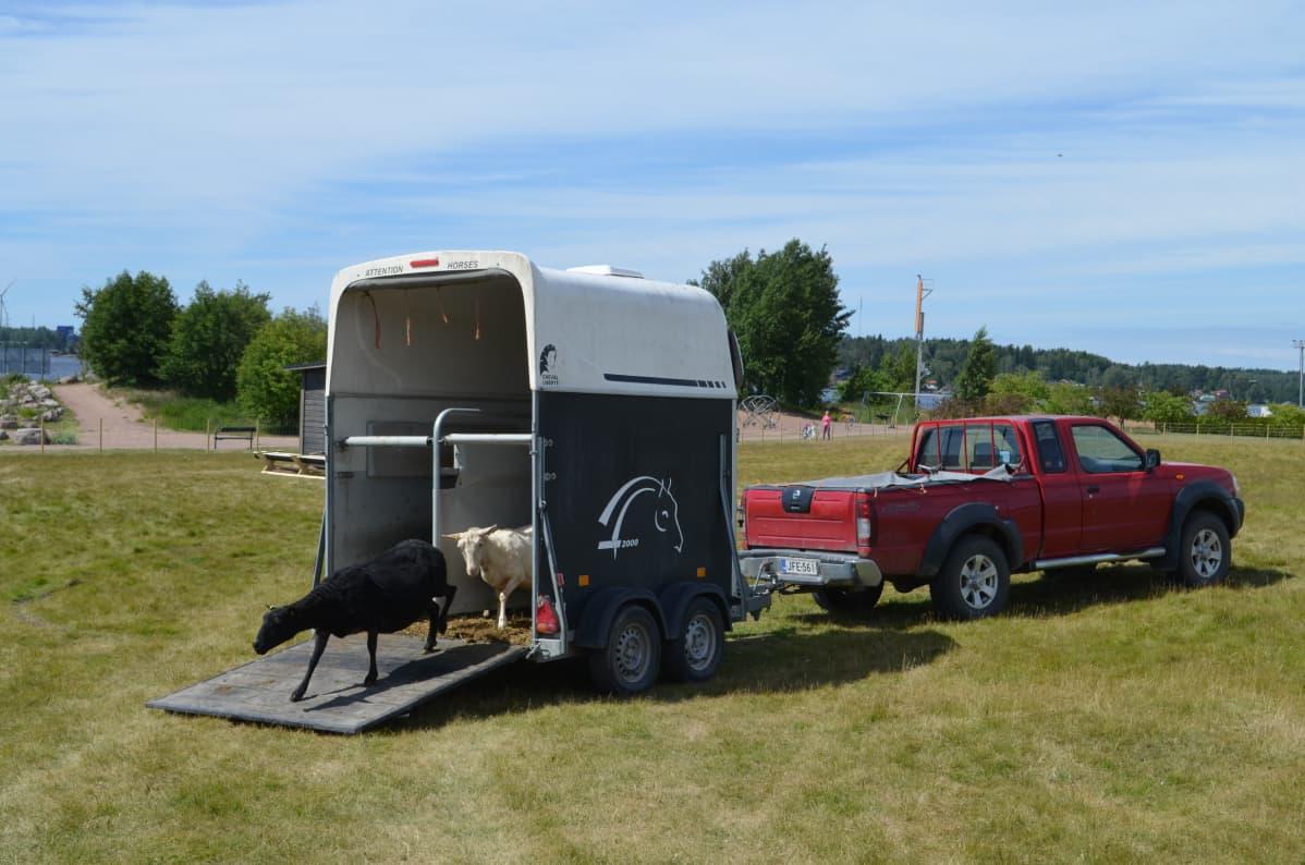 Kaksi lammasta kävelemässä ulos kuljetustrailerista aitauksessa.