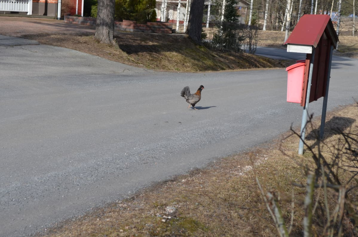 Kana kävelee kadulla