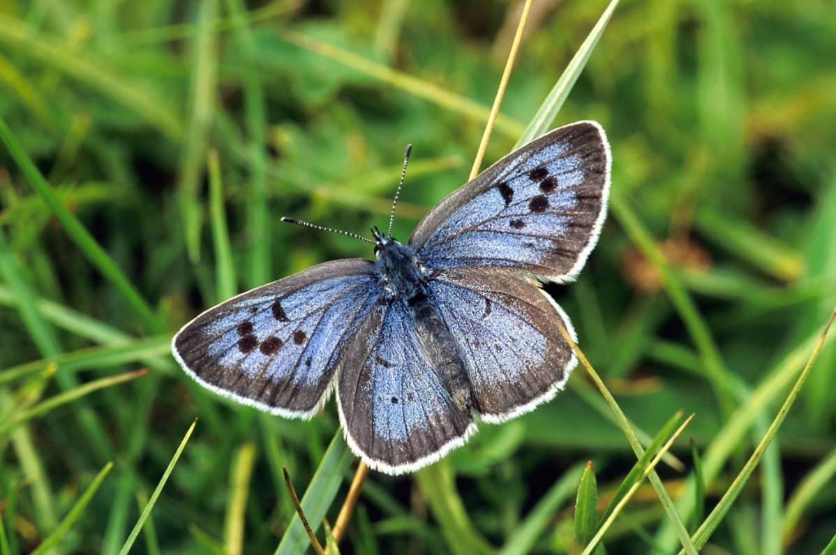 Ruohonkorrella perhonen, jolla on ruskean reunustamat siniset siivet ja niissä mustia täpliä.