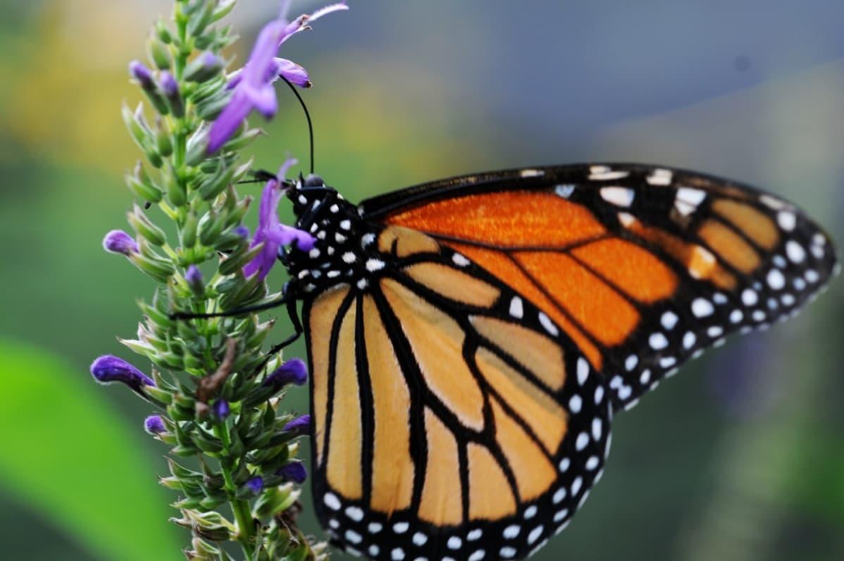 Monarkkiperhonen kukassa.