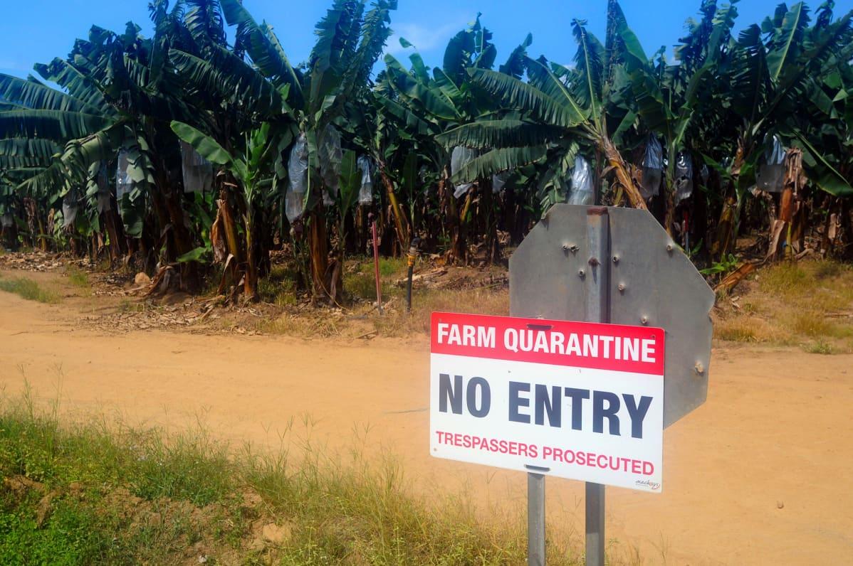 Panaman taudin takia karanteenisssa oleva banaaniviljelmä Queenslandissa Australiassa.