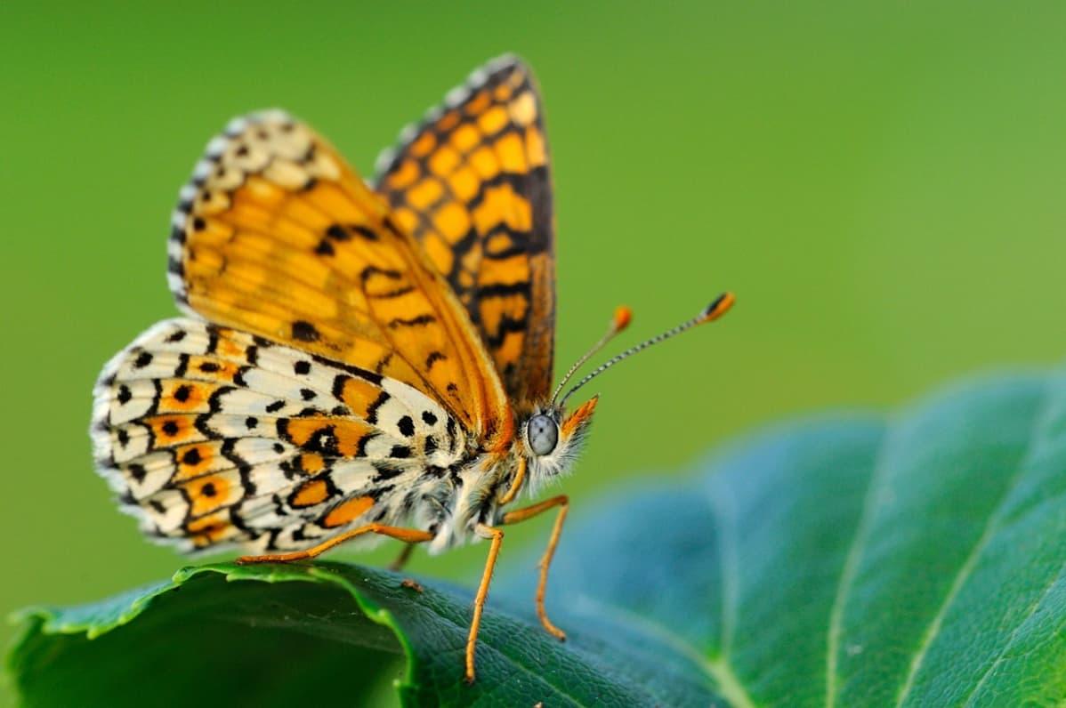 Oranssin-, ruskean- ja kermankeltaisen kirjava perhonen lehdellä.