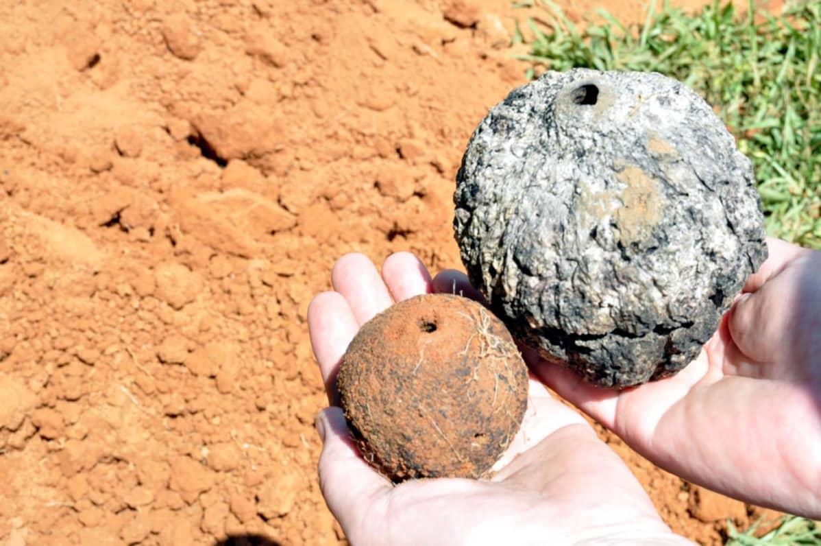Pienempi parapähkinäpuun hedelmä (vasemmalla) voi olla pari tuhatta vuotta vanha. Nykyisin pähkinät ovat jalostuksen tuloksena suurempia (oikealla). Ihmisen käyttämät kasvit kertovat myös Amerikan asutuksen vaiheista.