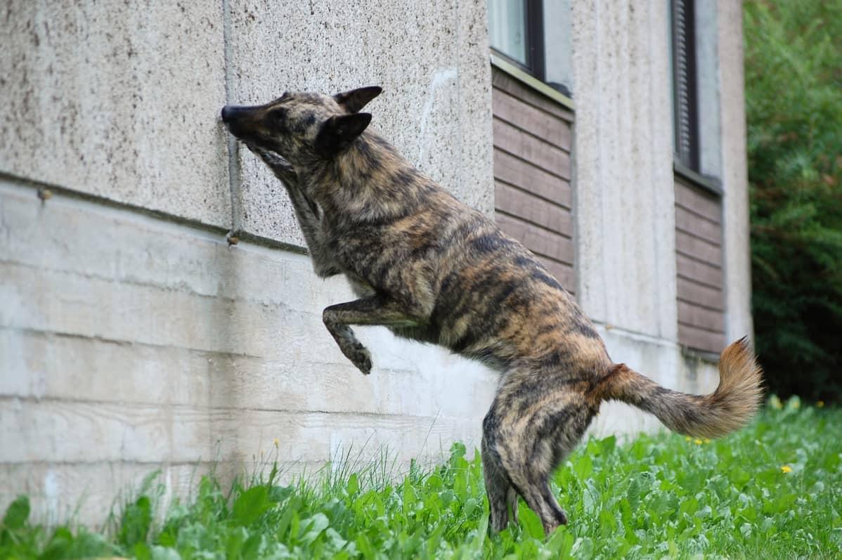 Koira nuuskii seinää