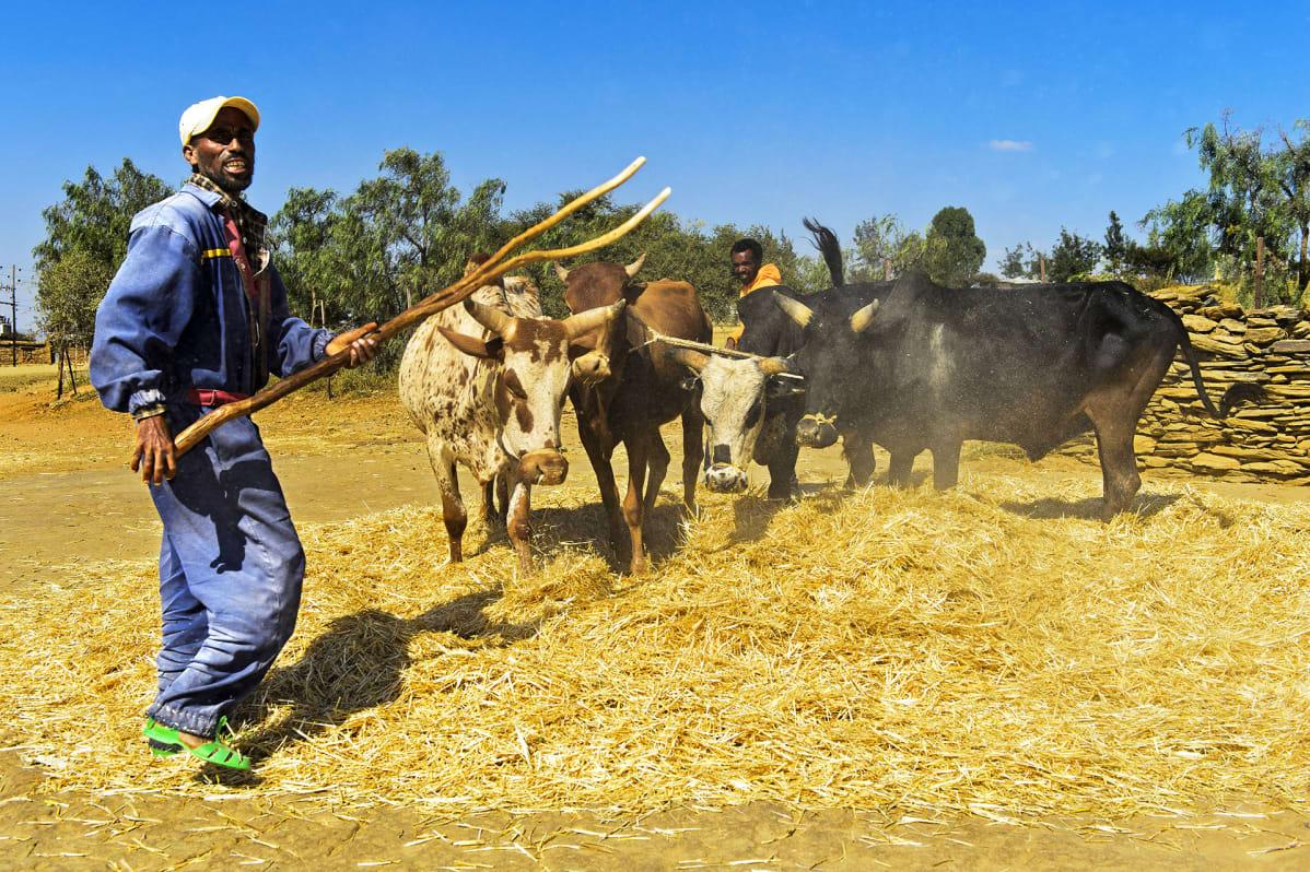 Perinteistä teff-viljan puintia Etiopiassa. Karja talloo kasoihin kootut leikatut kasvit.